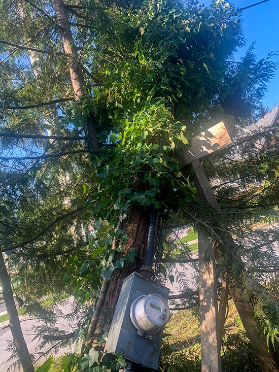 Ivy and age got the better of this old pole during a fall windstorm. We removed the old pole and placed the new pole in the same hole